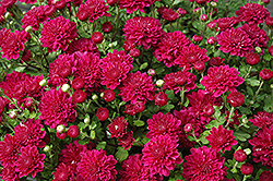 Darlene Chrysanthemum (Chrysanthemum 'Darlene') at Meadows Farms Nurseries