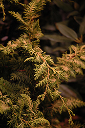 Fernspray Gold Falsecypress (Chamaecyparis obtusa 'Fernspray Gold') at Meadows Farms Nurseries