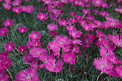 Firewitch Pinks (Dianthus gratianopolitanus 'Firewitch') at Meadows Farms Nurseries
