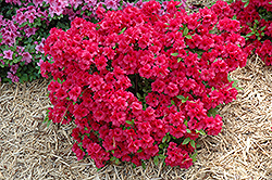 Hershey's Red Azalea (Rhododendron 'Hershey's Red') at Meadows Farms Nurseries