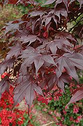 Bloodgood Japanese Maple (Acer palmatum 'Bloodgood') at Meadows Farms Nurseries