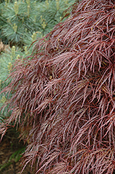 Red Select Cutleaf Japanese Maple (Acer palmatum 'Dissectum Red Select') at Meadows Farms Nurseries