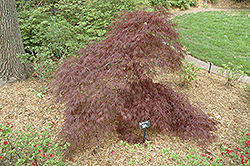Purple-Leaf Threadleaf Japanese Maple (Acer palmatum 'Dissectum Atropurpureum') at Meadows Farms Nurseries