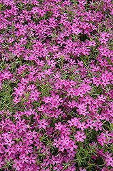 Crimson Beauty Moss Phlox (Phlox subulata 'Crimson Beauty') at Meadows Farms Nurseries