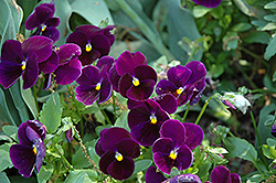 Matrix Purple Pansy (Viola 'Matrix Purple') at Meadows Farms Nurseries