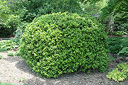 Japanese Boxwood (Buxus microphylla 'var. japonica') at Meadows Farms Nurseries
