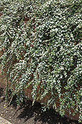 Coral Beauty Cotoneaster (Cotoneaster dammeri 'Coral Beauty') at Meadows Farms Nurseries