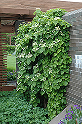 Japanese Hydrangea Vine (Schizophragma hydrangeoides) at Meadows Farms Nurseries