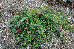 Little Gem Cotoneaster (Cotoneaster adpressus 'Little Gem') at Meadows Farms Nurseries