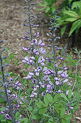 Purple Smoke False Indigo (Baptisia 'Purple Smoke') at Meadows Farms Nurseries