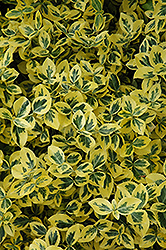Emerald 'n' Gold Wintercreeper (Euonymus fortunei 'Emerald 'n' Gold') at Meadows Farms Nurseries
