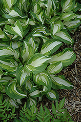 Variegated Hosta (Hosta undulata 'Variegata') at Meadows Farms Nurseries