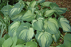 Guardian Angel Hosta (Hosta 'Guardian Angel') at Meadows Farms Nurseries