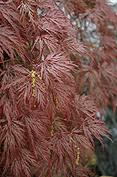 Inaba Shidare Cutleaf Japanese Maple (Acer palmatum 'Inaba Shidare') at Meadows Farms Nurseries