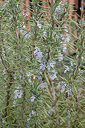 Arp Rosemary (Rosmarinus officinalis 'Arp') at Meadows Farms Nurseries