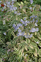 Touch Of Class Jacob's Ladder (Polemonium reptans 'Touch Of Class') at Meadows Farms Nurseries