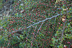 Rockspray Cotoneaster (Cotoneaster horizontalis 'var. perpusillus') at Meadows Farms Nurseries