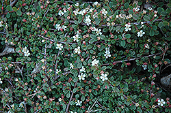 Streib's Findling Cotoneaster (Cotoneaster dammeri 'Streib's Findling') at Meadows Farms Nurseries