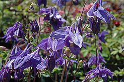 Alpine Columbine (Aquilegia alpina) at Meadows Farms Nurseries