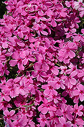 Red Wings Moss Phlox (Phlox subulata 'Red Wings') at Meadows Farms Nurseries