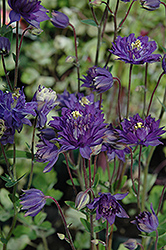 Clememtine Blue Columbine (Aquilegia vulgaris 'Clementine Blue') at Meadows Farms Nurseries