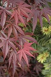 Skeeter's Broom Dwarf Japanese Maple (Acer palmatum 'Skeeter's Broom') at Meadows Farms Nurseries