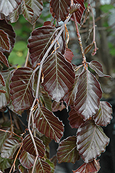 Purple Fountain Beech (Fagus sylvatica 'Purple Fountain') at Meadows Farms Nurseries