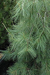 Weeping White Pine (Pinus strobus 'Pendula') at Meadows Farms Nurseries