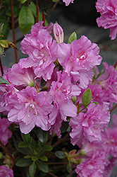 Elsie Lee Azalea (Rhododendron 'Elsie Lee') at Meadows Farms Nurseries