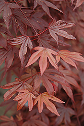 Fireglow Japanese Maple (Acer palmatum 'Fireglow') at Meadows Farms Nurseries