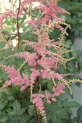 Bressingham Beauty Astilbe (Astilbe x arendsii 'Bressingham Beauty') at Meadows Farms Nurseries