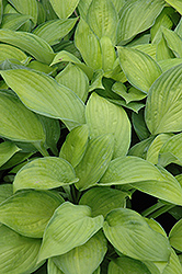 Gold Standard Hosta (Hosta 'Gold Standard') at Meadows Farms Nurseries
