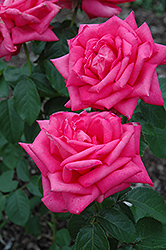 Miss All American Beauty Rose (Rosa 'Miss All American Beauty') at Meadows Farms Nurseries