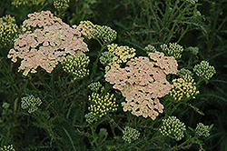 Summer Pastels Yarrow (Achillea millefolium 'Summer Pastels') at Meadows Farms Nurseries
