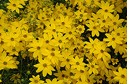 Golden Showers Tickseed (Coreopsis verticillata 'Golden Showers') at Meadows Farms Nurseries