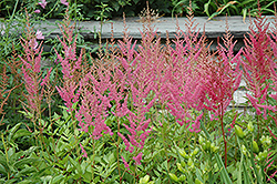 Visions in Pink Chinese Astilbe (Astilbe chinensis 'Visions in Pink') at Meadows Farms Nurseries