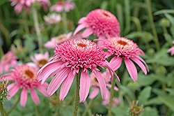 Cone-fections™ Pink Double Delight Coneflower (Echinacea purpurea 'Pink Double Delight') at Meadows Farms Nurseries