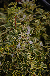 Twist of Lime™ Glossy Abelia (Abelia x grandiflora 'Hopley's') at Meadows Farms Nurseries