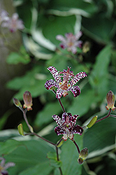 Empress Toad Lily (Tricyrtis 'Empress') at Meadows Farms Nurseries