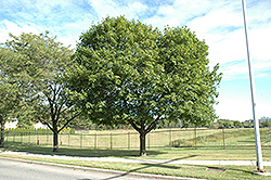 Norway Maple (Acer platanoides) at Meadows Farms Nurseries