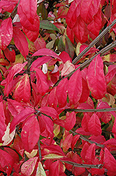 Fire Ball® Burning Bush (Euonymus alatus 'Select') at Meadows Farms Nurseries