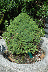 Conica Baby Spruce (Picea glauca 'Conica Baby') at Meadows Farms Nurseries