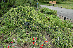 Weeping Cedar of Lebanon (Cedrus libani 'Pendula') at Meadows Farms Nurseries