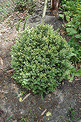 Golden Variegated Boxwood (Buxus sempervirens 'Aureovariegata') at Meadows Farms Nurseries