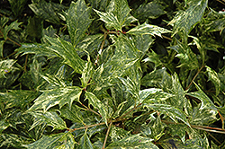 Variegated False Holly (Osmanthus heterophyllus 'Goshiki') at Meadows Farms Nurseries