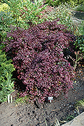 Burgundy Fringeflower (Loropetalum chinense 'Burgundy') at Meadows Farms Nurseries