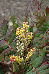 Oregon Grape Holly (Mahonia nervosa) at Meadows Farms Nurseries