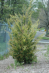 Evergreen Witch Hazel (Distylium racemosum) at Meadows Farms Nurseries