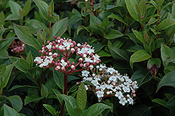 Compact Laurustinus (Viburnum tinus 'Compactum') at Meadows Farms Nurseries