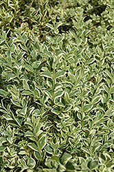 Variegated Boxwood (Buxus sempervirens 'Elegantissima') at Meadows Farms Nurseries